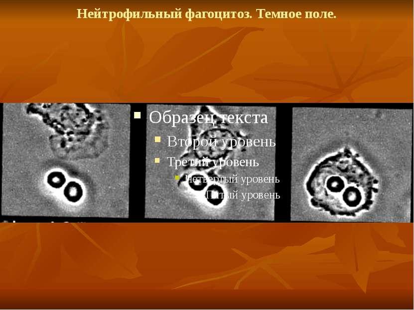 Нейтрофильный фагоцитоз. Темное поле.