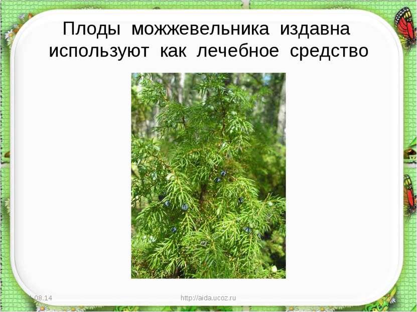 Плоды можжевельника издавна используют как лечебное средство * http://aida.uc...