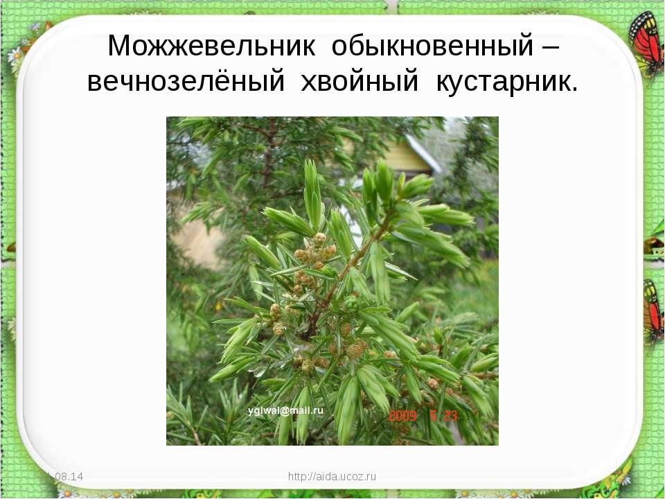 Можжевельник обыкновенный – вечнозелёный хвойный кустарник. * http://aida.uco...