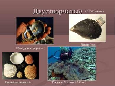 Двустворчатые Жемчужница морская Тридакна большая ( 250 кг ) Мидия Грэя Съедо...