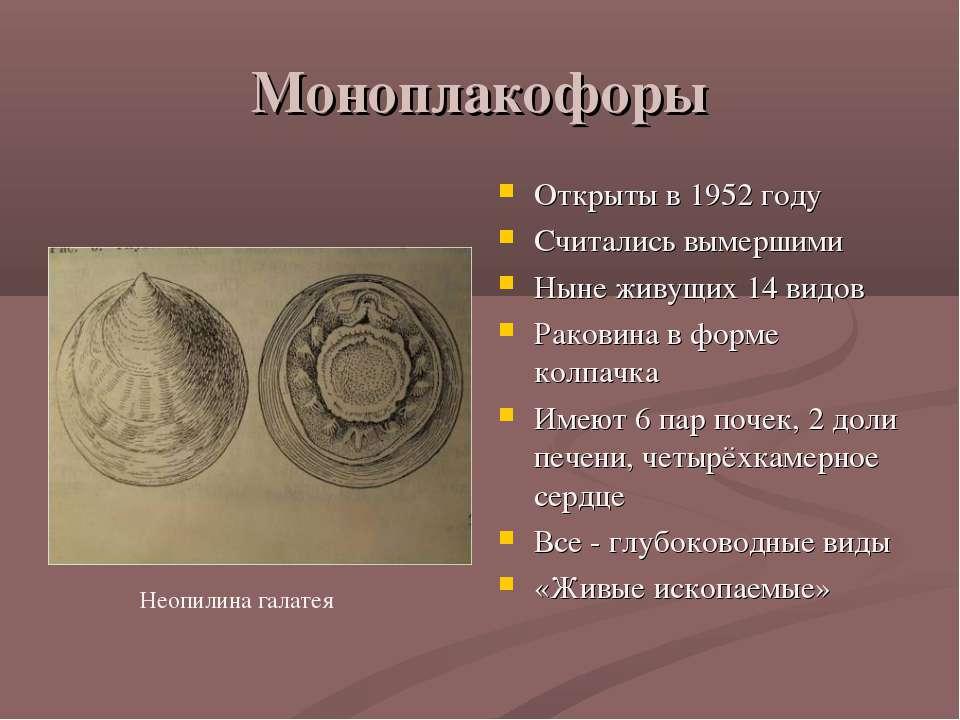 Моноплакофоры Открыты в 1952 году Считались вымершими Ныне живущих 14 видов Р...
