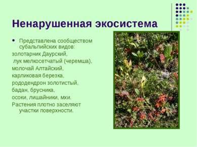 Ненарушенная экосистема Представлена сообществом субальпийских видов: золотар...