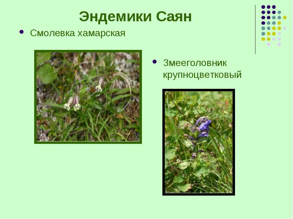 Эндемики Саян Смолевка хамарская Змееголовник крупноцветковый