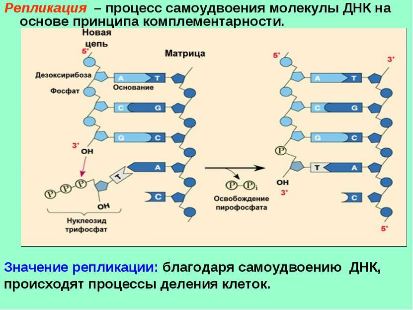 Репликация – процесс самоудвоения молекулы ДНК на основе принципа комплемента...
