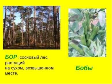 БОР - сосновый лес, растущий на сухом, возвышенном месте. Бобы