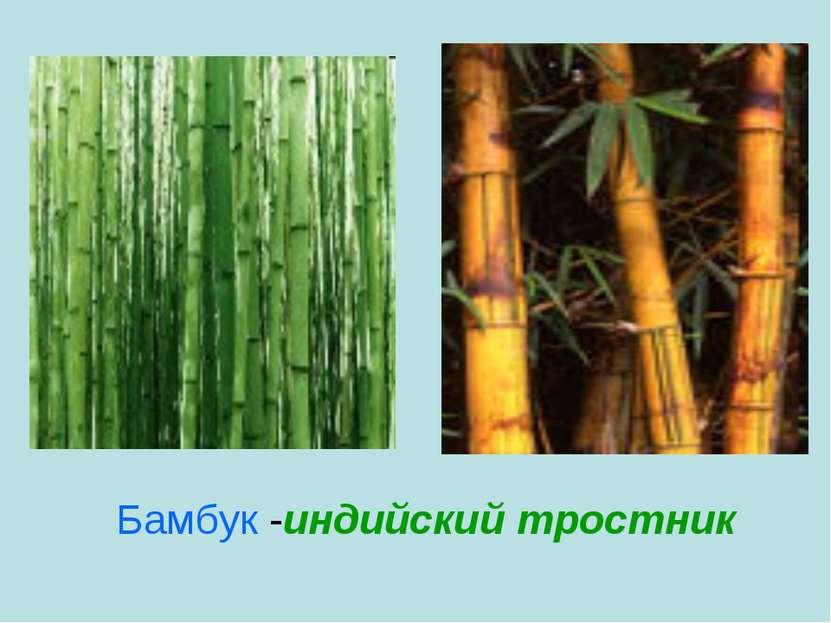 Бамбук -индийский тростник