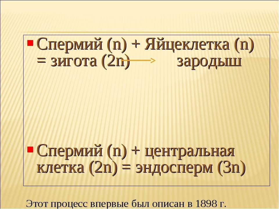 Спермий (n) + Яйцеклетка (n) = зигота (2n) зародыш Спермий (n) + центральная ...