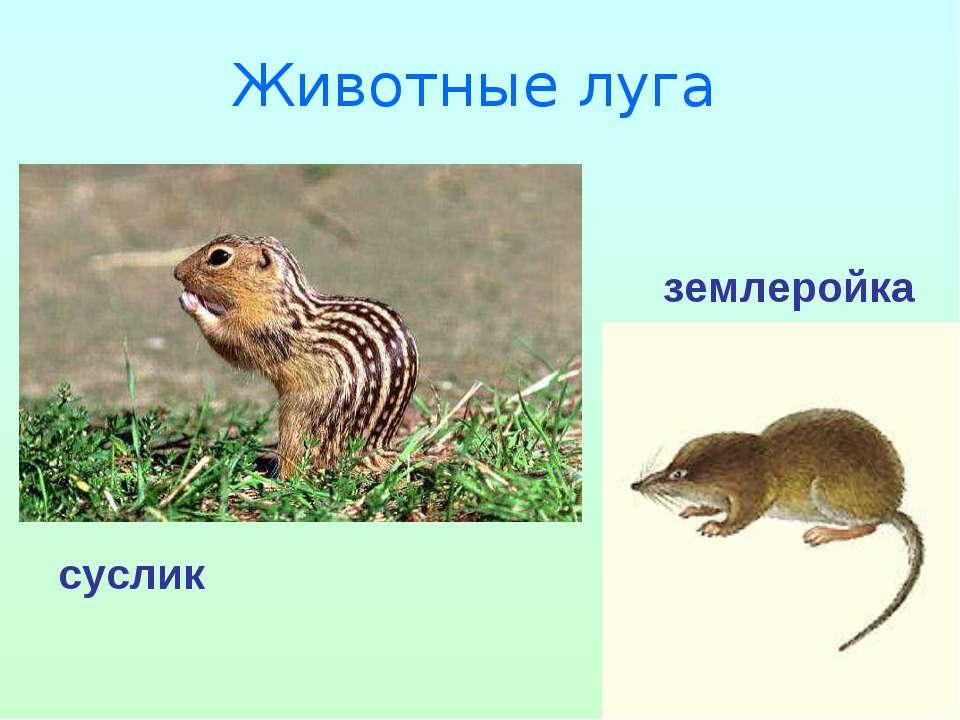 Животные луга суслик землеройка