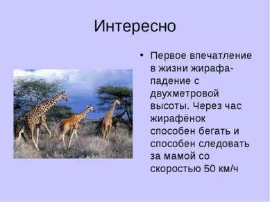 Интересно Первое впечатление в жизни жирафа- падение с двухметровой высоты. Ч...