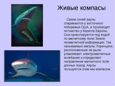 Живые компасы Самки синей акулы спариваются у восточного побережья США, а про...