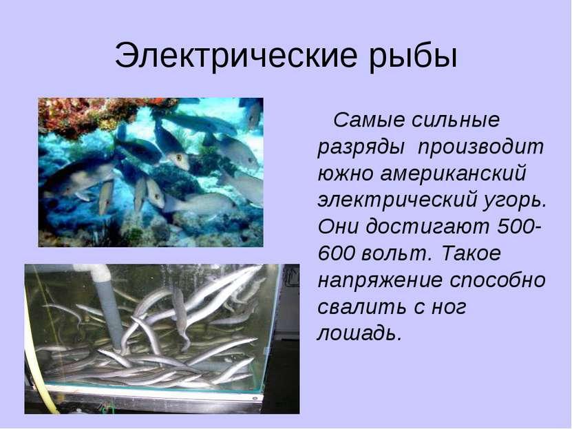 Электрические рыбы Самые сильные разряды производит южно американский электри...