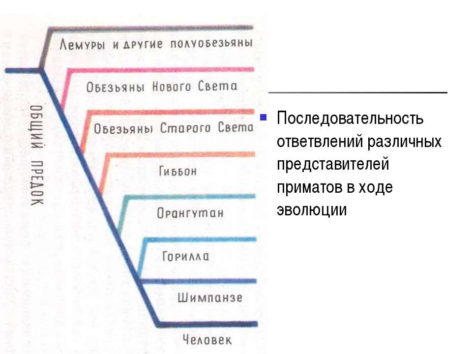 Последовательность ответвлений различных представителей приматов в ходе эволюции