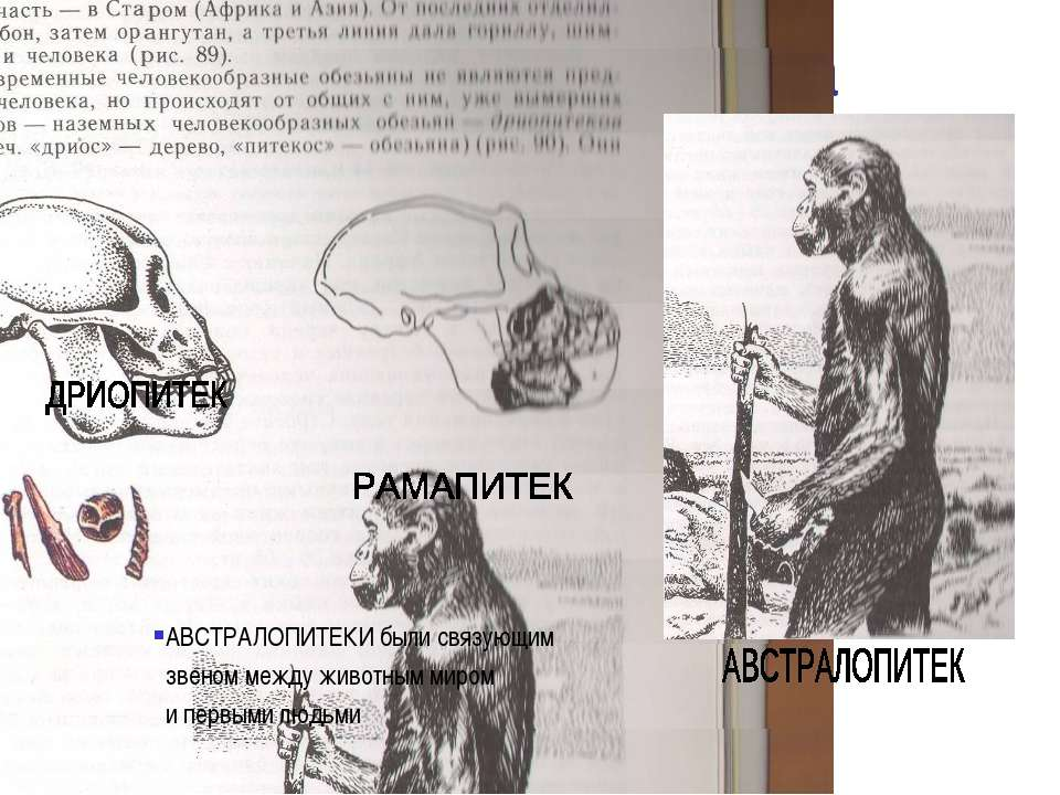 Предшественники человека АВСТРАЛОПИТЕКИ были связующим звеном между животным ...