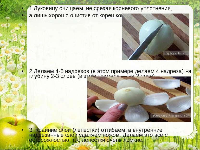 1.Луковицу очищаем, не срезая корневого уплотнения, а лишь хорошо очистив от ...
