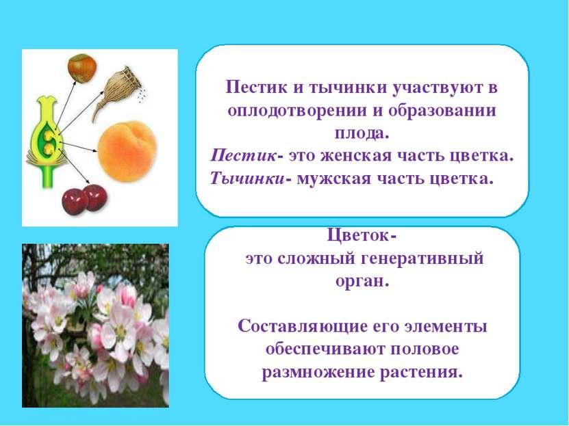 Пестик и тычинки участвуют в оплодотворении и образовании плода. Пестик- это ...