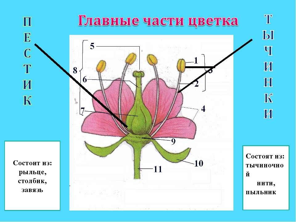 Состоит из: рыльце, столбик, завязь Состоят из: тычиночной нити, пыльник