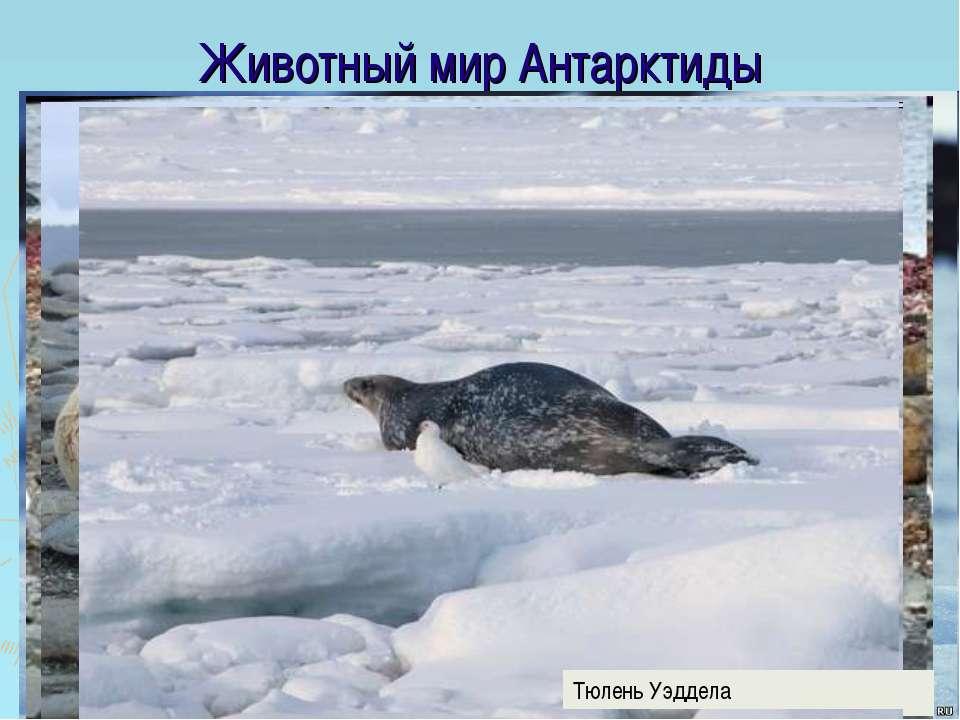 Животный мир Антарктиды Морской слон Морской котик Тюлень Уэддела