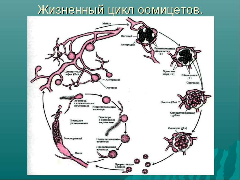 Жизненный цикл оомицетов.