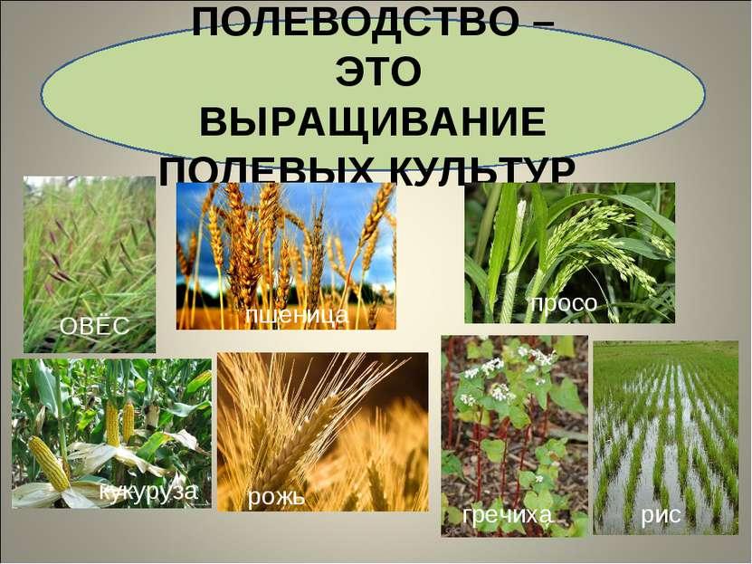 ПОЛЕВОДСТВО – ЭТО ВЫРАЩИВАНИЕ ПОЛЕВЫХ КУЛЬТУР ОВЁС ПШЕНИЦА просо кукуруза рож...