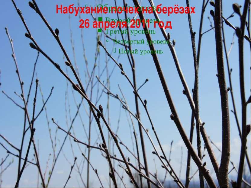 Набухание почек на берёзах 26 апреля 2011 год