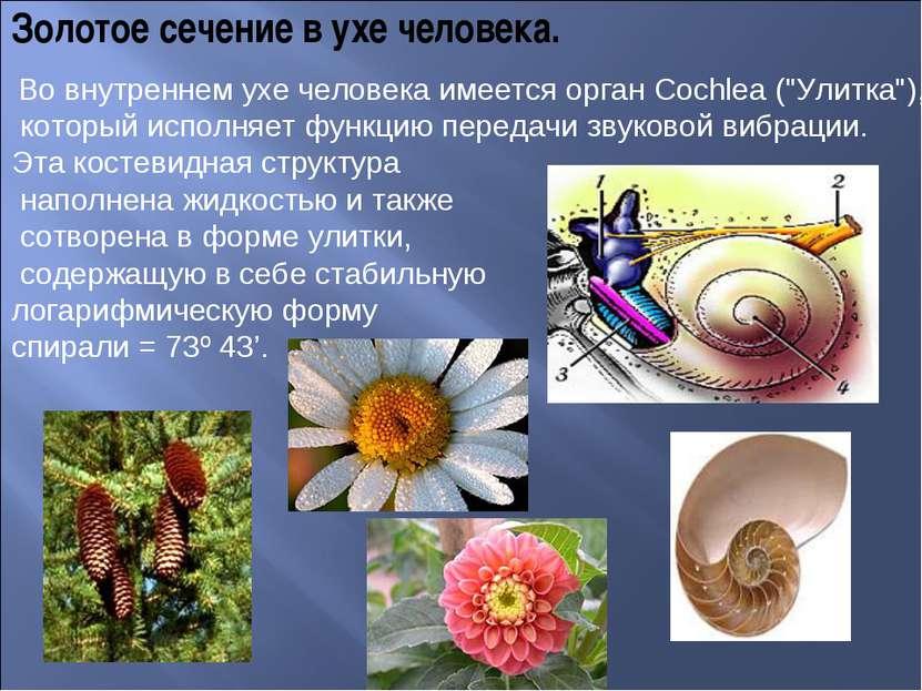Золотое сечение в ухе человека. Во внутреннем ухе человека имеется орган Coch...