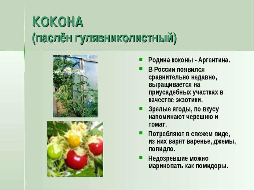 КОКОНА (паслён гулявниколистный) Родина коконы - Аргентина. В России появился...