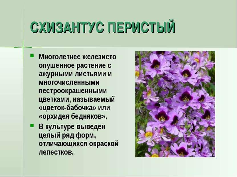 СХИЗАНТУС ПЕРИСТЫЙ Многолетнее железисто опушенное растение с ажурными листья...
