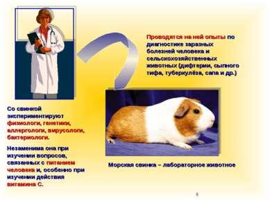 Морская свинка – лабораторное животное Проводятся на ней опыты по диагностике...