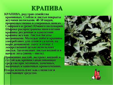 КРАПИВА КРАПИВА, род трав семейства крапивных. Стебли и листья покрыты жгучим...