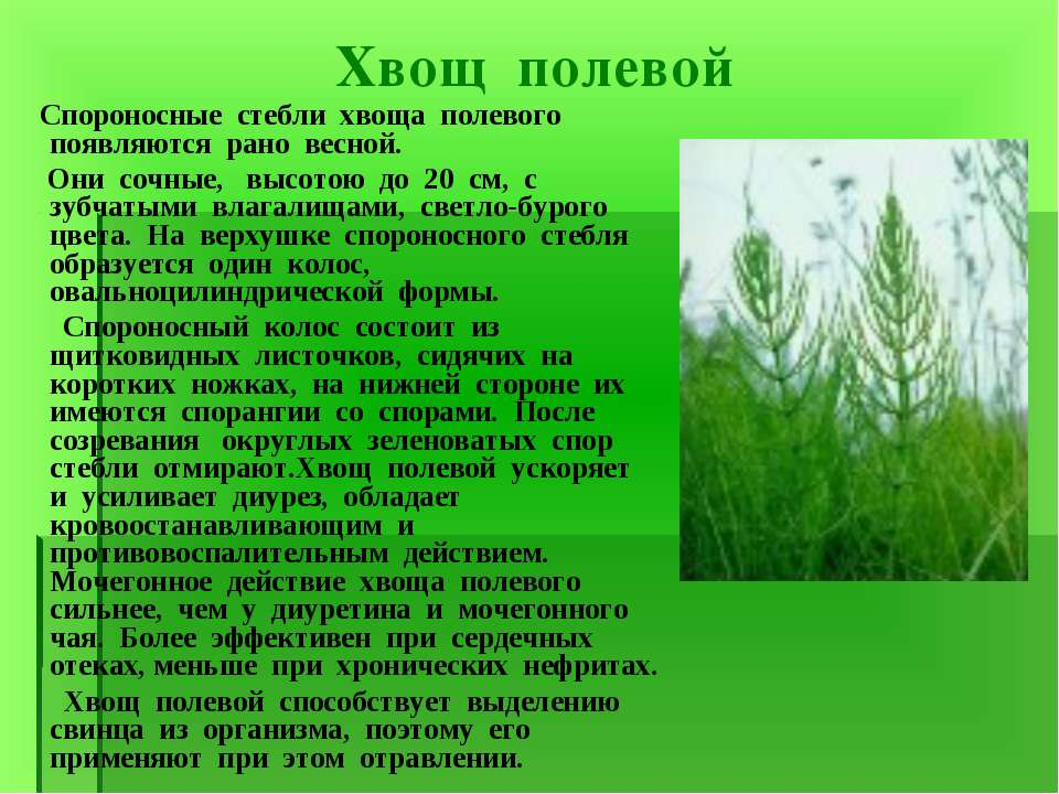 Хвощ полевой Спороносные стебли хвоща полевого появляются рано весной. Они со...