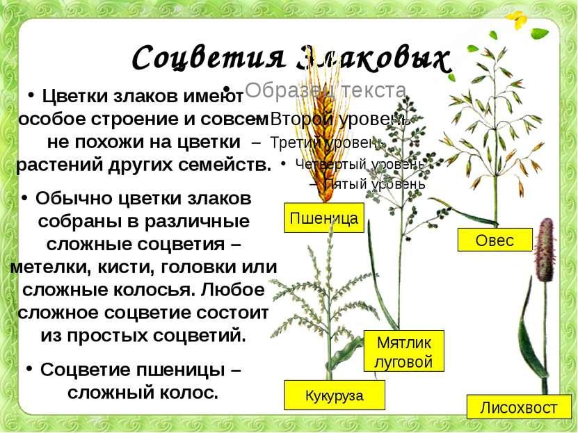 Соцветия Злаковых Цветки злаков имеют особое строение и совсем не похожи на ц...