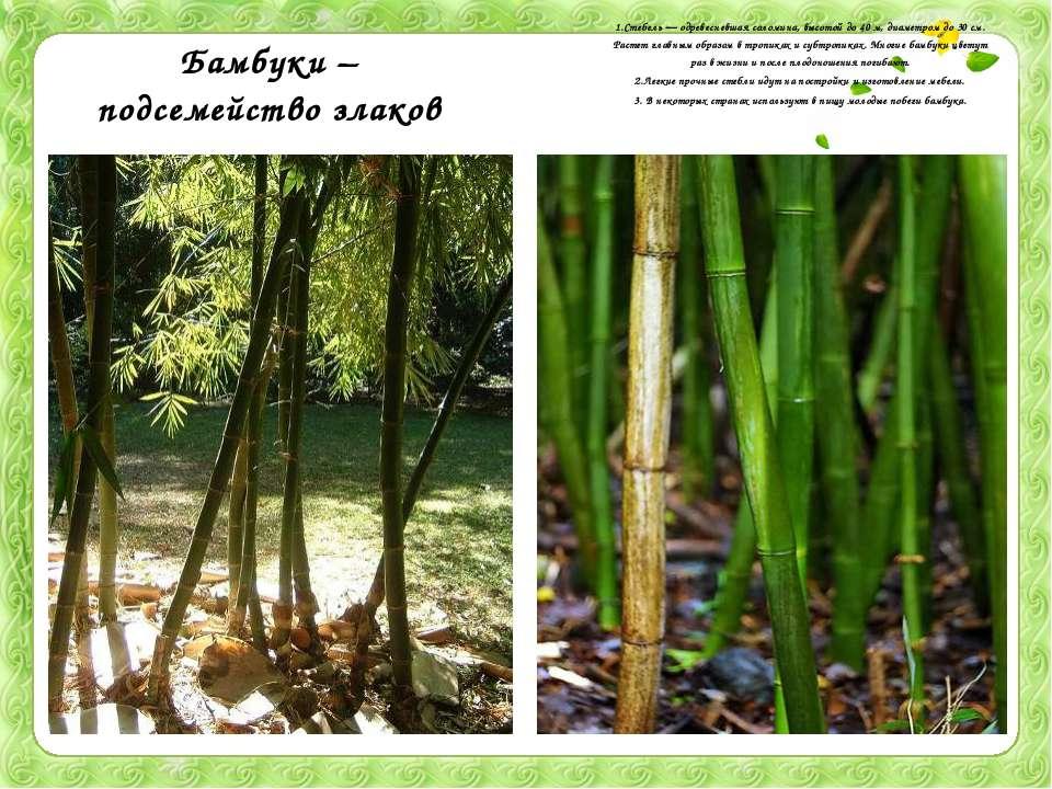 Бамбуки – подсемейство злаков 1.Стебель — одревесневшая соломина, высотой до ...