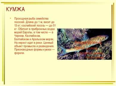 КУМЖА Проходная рыба семейства лососей. Длина до 1 м, весит до 13 кг; каспийс...