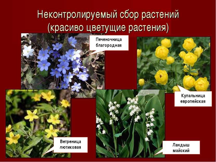 Неконтролируемый сбор растений (красиво цветущие растения) Печеночница благор...