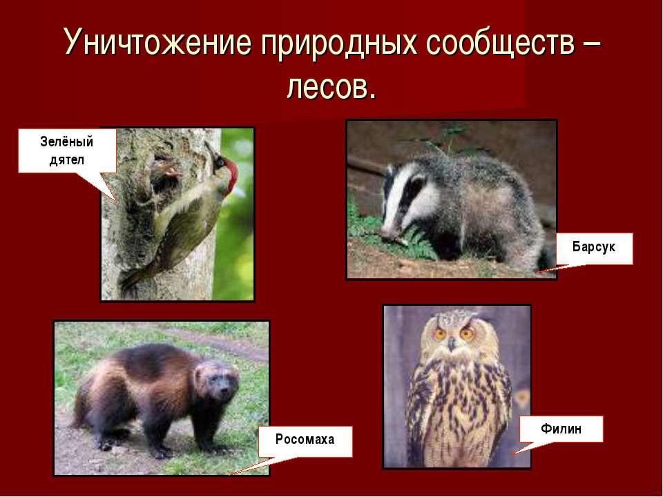 Уничтожение природных сообществ – лесов. Зелёный дятел Росомаха Филин Барсук