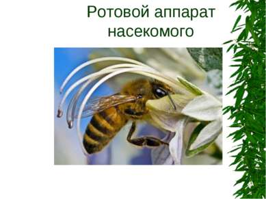 Ротовой аппарат насекомого