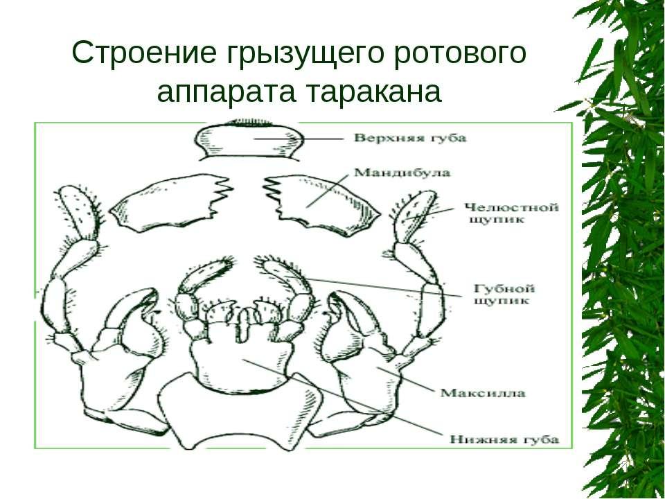 Строение грызущего ротового аппарата таракана