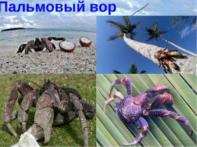 Пальмовый вор Пальмовый вор очень крупное ракообразное семейства сухопутных р...