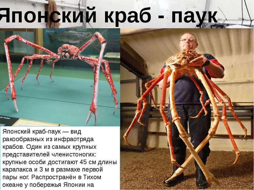 Японский краб-паук — вид ракообразных из инфраотряда крабов. Один из самых кр...