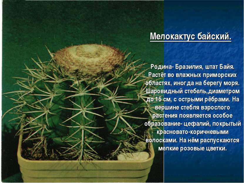 Мелокактус байский. Родина- Бразилия, штат Байя. Растёт во влажных приморских...