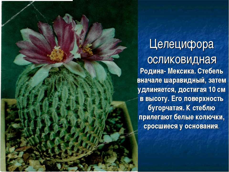 Целецифора осликовидная Родина- Мексика. Стебель вначале шаравидный, затем уд...