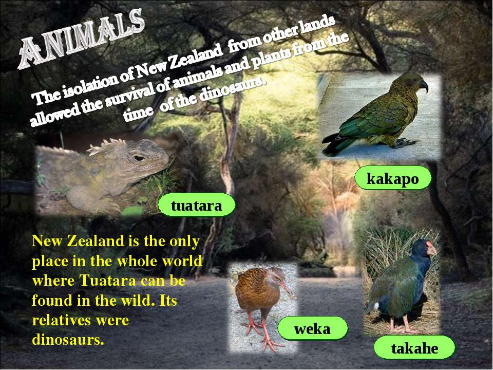 weka takahe kakapo tuatara New Zealand is the only place in the whole world w...