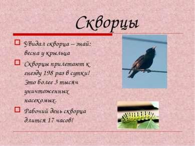 Скворцы Увидал скворца – знай: весна у крыльца Скворцы прилетают к гнезду 198...