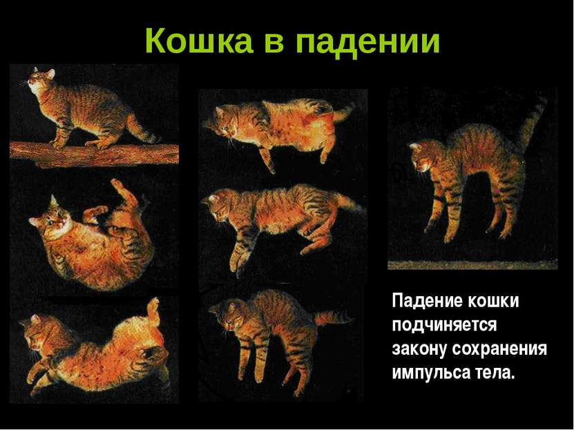 Кошка в падении Падение кошки подчиняется закону сохранения импульса тела.