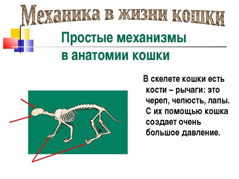 В скелете кошки есть кости – рычаги: это череп, челюсть, лапы. С их помощью к...