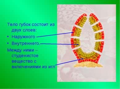Тело губок состоит из двух слоев: Наружного Внутреннего. Между ними – студени...
