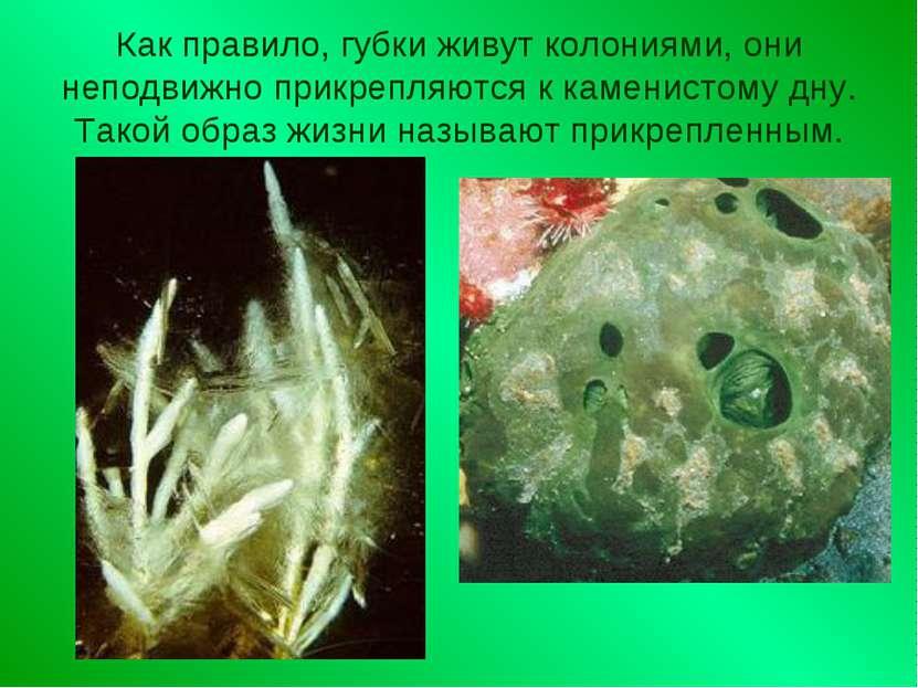 Как правило, губки живут колониями, они неподвижно прикрепляются к каменистом...