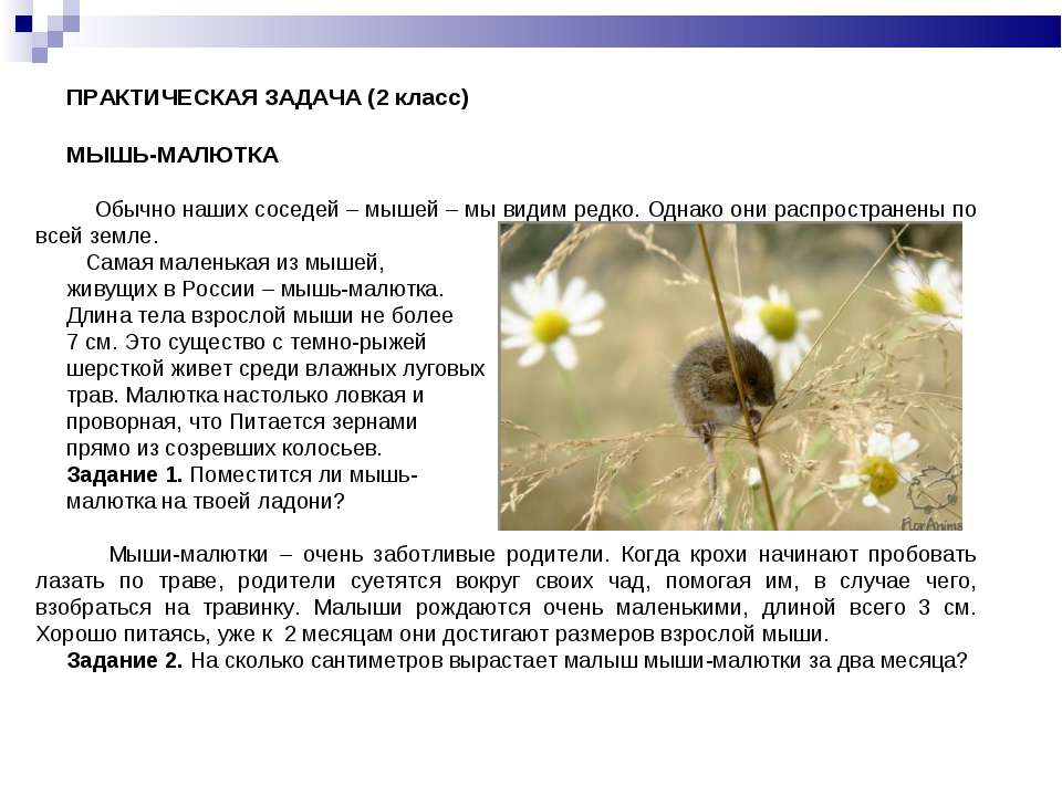 ПРАКТИЧЕСКАЯ ЗАДАЧА (2 класс) МЫШЬ-МАЛЮТКА Обычно наших соседей – мышей – мы ...