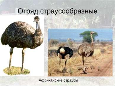 Отряд страусообразные Африканские страусы
