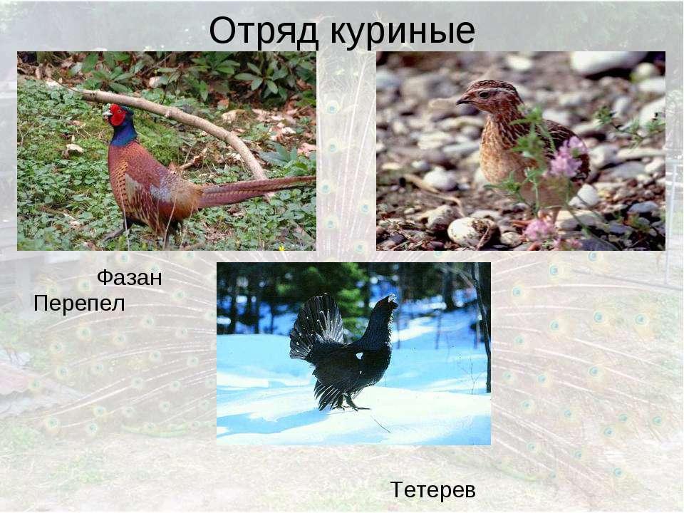 Отряд куриные Фазан Перепел Тетерев